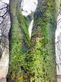 Ein Baum bedeckt mit Moos Stockfotos