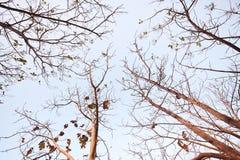 Ein Baum, der alte Blätter fallenläßt Stockfotografie