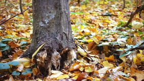 Ein Baum, der in den Wald fällt, zieht seine Wurzel, Zeitlupe aus stock video footage