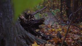 Ein Baum, der in den Wald fällt, zieht seine Wurzel, Zeitlupe aus stock footage