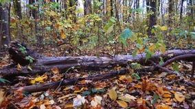 Ein Baum, der in den Wald fällt, zieht seine Wurzel, Zeitlupe aus stock video