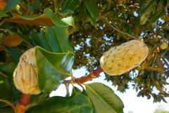 Ein Baum, der in Louisiana blüht stockbild
