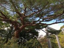Ein Baum in der Nähe das Torii Lizenzfreies Stockbild