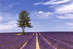 Ein Baum gelassen auf einem Lavendelgebiet Stockfotos