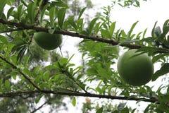 Ein Baum mit großen Früchten Lizenzfreie Stockfotografie
