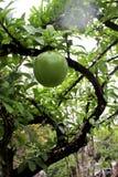 Ein Baum mit großen Früchten Stockbild