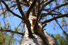Ein Baum mit vielen Niederlassungen und ein Eichhörnchen auf einer von ihnen Lizenzfreie Stockfotos