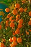Ein Baum mit vielen Orangen Stockfotografie