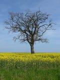 Ein Baum ohne Blätter auf dem Rapssamengebiet Lizenzfreie Stockfotos