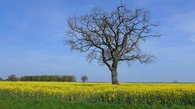 Ein Baum ohne Blätter auf dem Rapssamengebiet Stockfotos