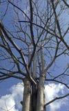 Ein Baum ohne Blatt Lizenzfreie Stockfotos