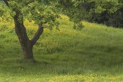 Ein Baum und Butterblumeen stockfotografie