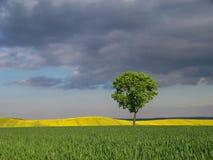 Ein Baum und die Felder Stockbild