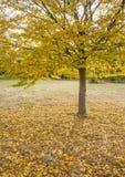 Ein Baum und ein Teppich von gelben Blättern Lizenzfreie Stockfotografie