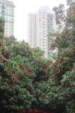 Ein Baum voll des Litschis Lizenzfreies Stockbild