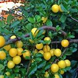 Ein Baum voll von deliciois kleinen gelben Pflaumen Lizenzfreies Stockbild