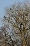 Ein Baum voll von Eagles Lizenzfreies Stockbild