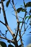 Ein Baumast mit den Dornen und ein unfruchtbar von den Blättern lizenzfreie stockfotografie