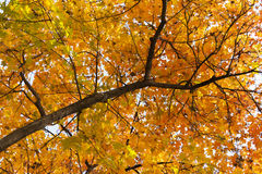 Ein Baumast mit sterbender Orange verlässt im Herbst Stockfotografie