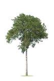 Ein Baumbusch hat auf weißem Hintergrund gerundet stockbilder