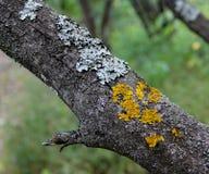 Ein Baumstamm bedeckt mit gelber und grüner Flechte Stockfotos