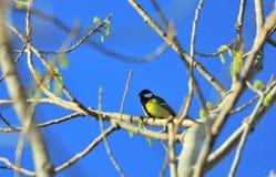 Ein bedeutender Gesang Kohlmeise Parus in einem Baum lizenzfreie stockfotos