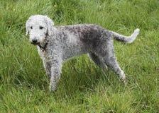 Ein Bedlington Terrier, das auf einem Gebiet steht Stockfotos