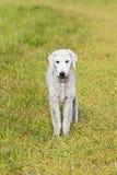 Ein Bedlington-Terrier durch selektiven Fokus auf einem Gebiet Stockbild