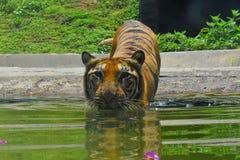 Ein Bengal-Tiger an den zoologischen Gärten, Dehiwala Colombo, Sri Lanka Lizenzfreies Stockfoto