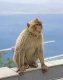 Ein Berberitzenbeeraffe, der auf dem Felsen von Gibraltar sitzt Stockbild