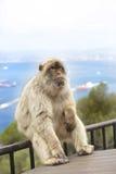 Ein Berberitzenbeeraffe, der auf einem Geländer auf dem Felsen von Gibraltar sitzt Stockfoto