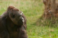 Ein Berggorilla, der seitlich mit einem traurigen Blick schaut Stockfotos