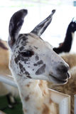 Ein beschmutztes Lama Stockfotografie
