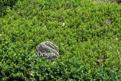 Ein beschrifteter Oreganobusch in einem französischen Garten stockfotos