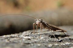 Ein betender Mantis stockfotografie