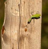 Ein betender Mantis und eine Fliege Lizenzfreie Stockfotos