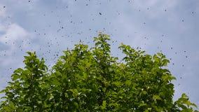 Ein Bienenschwarm fliegt über einen Baum stock video footage