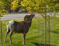 Ein Bighorn Ram Looking für etwas Stadt-Eine Kleinigkeit essen lizenzfreies stockbild