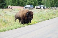 Ein Bison, der die Straße an großartigem Nationalpark Teton kreuzt stockfoto