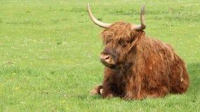 Ein Bison On Green Field lizenzfreies stockbild