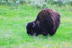 Ein Bison in Yellowstone Nationalpark Stockbilder
