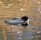 Ein Blässhuhn in einem Teich Stockbilder