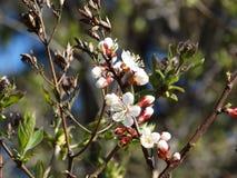 Ein blühender Aprikosenbaum Stockfotos