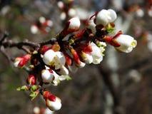 Ein blühender Aprikosenbaum Stockbilder
