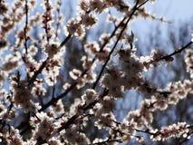 Ein blühender Aprikosenbaum Lizenzfreie Stockfotos