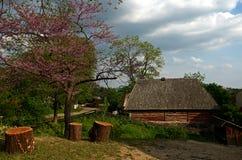 Ein blühender Baum mit purpurroten Blumen wächst nahe bei hölzernen Stümpfen stockbilder