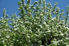 Ein blühender Birnenbaum Lizenzfreie Stockfotos