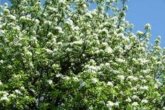Ein blühender Birnenbaum Lizenzfreie Stockbilder