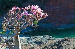 Ein blühender Flaschenbaum in Dirhur-Oase, Socotra, der Jemen Lizenzfreies Stockbild