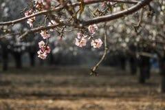 Ein blühender Frühling rosa und weiße Reihen von Baummandeln Stockfotos